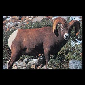 Delta McKenzie Targets - Paper Bighorn Sheep
