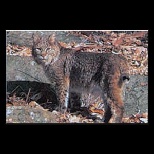 Delta McKenzie Targets - Paper Bobcat
