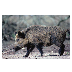 Delta McKenzie Targets - Paper Wild Boar