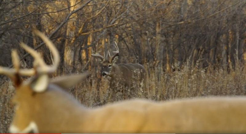 Deer Decoy